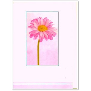 """Pale Pink Chrysanthemum"""