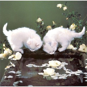 White Kittens by Water