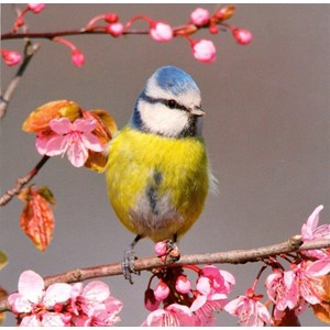 Blue Tit Perched on Blossom