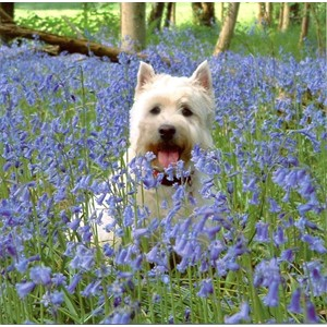 Thomas in the Bluebells